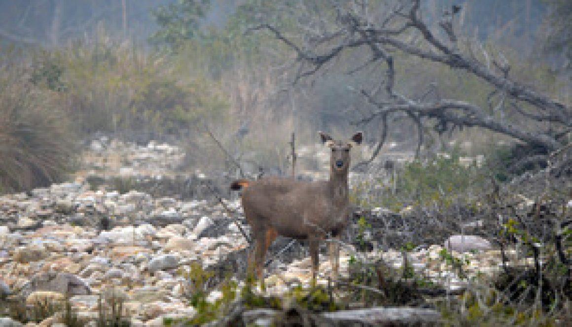 1-deer-jim-corbett-national-park-sambhar-630981