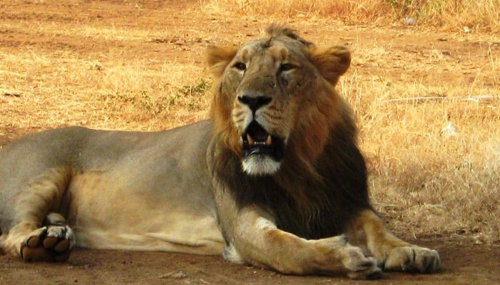 Asiatic_Lion_Gir_Forest