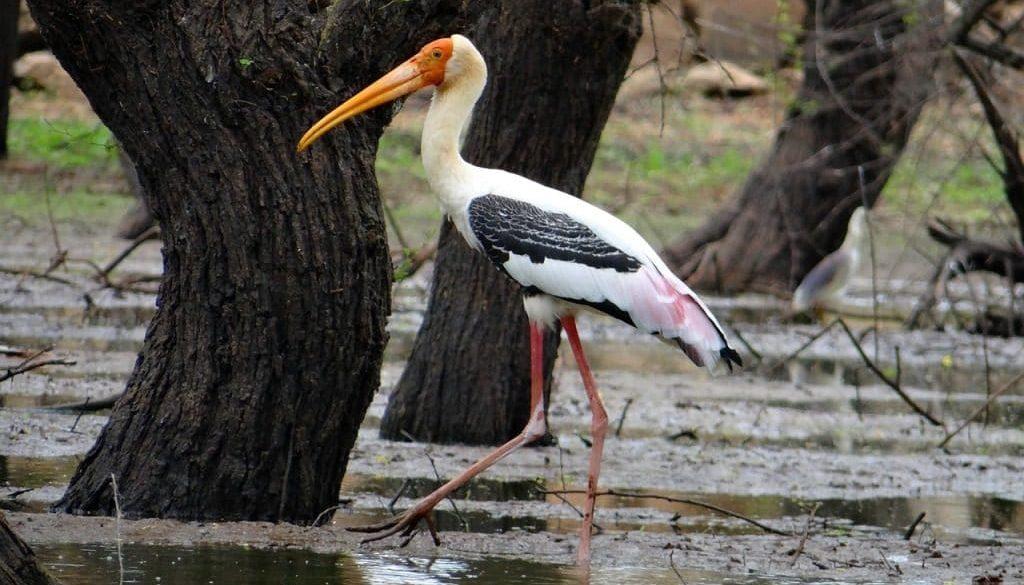 painted-stork-851848_1280